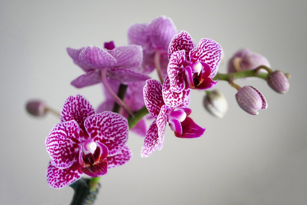 Nanas-Flower-Shop-Fresno-CA-Orchid